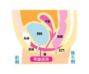 骨盤底筋の図