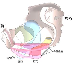 骨盤底筋の絵